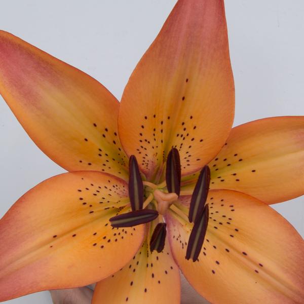 Lilium Asiatico